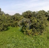 127 Kanal Agricultural Land For Sale in Sargodha to Sillanwali Road, Sargodha